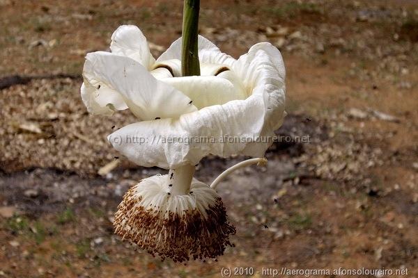 flor de embondeiro