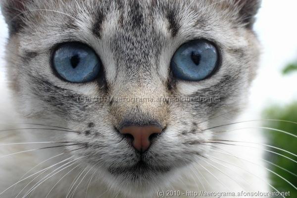 Gato alentejano